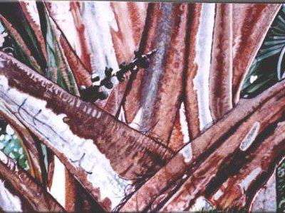 Red Lantan Palm